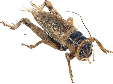 Crickets have front wings and hind wings.