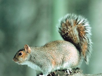 Tree and flying squirrels tend to be loners, except during mating season.