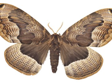 Most species of moths mate and produce fertilized eggs.