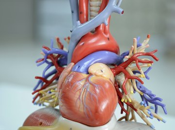 Human Heart Science Projects
