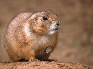 A close-up of a prairie dog.