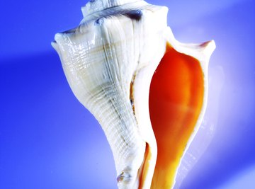 The conch shell was an early trumpet and religious symbol.