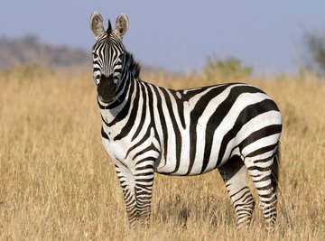 zebra in savanna