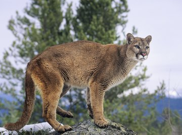 A puma standing on a rock near a tree in the mountains.