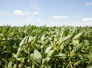 Soybean plantations cause much of the deforestation in the Amazon basin.
