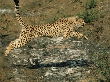 Zoology can include the study of how a cheetah interacts with its environment.
