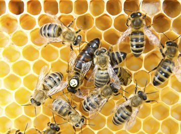 Queen bee laying eggs on honeycomb