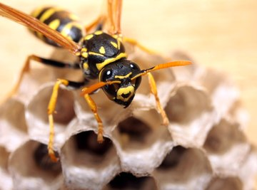 How to Identify Hornets & Wasps in Tennessee