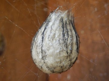 How to Identify Spider Egg Sacs