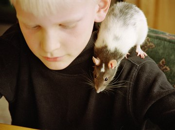This rat is a boy's pet; countless others are destined for research purposes.