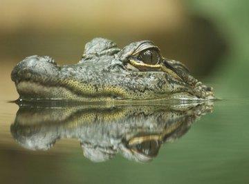 Body Parts of a Crocodile