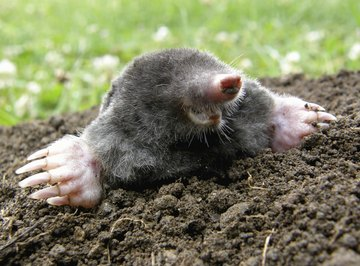 A mole on the surface of the dirt.