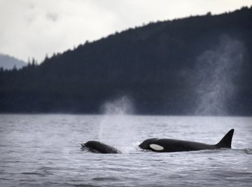Orcas often hunt in packs -- a behavioral adaptation.