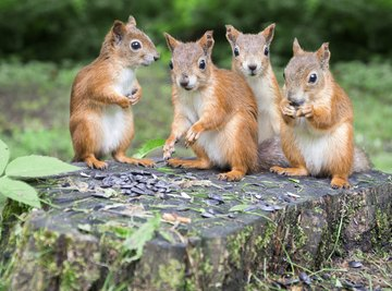 How Do Squirrels Mate