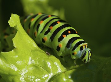 How to Determine if a Caterpillar Is Male or Female