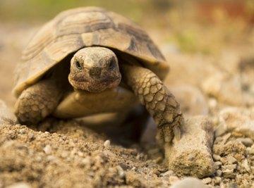 What Do Tortoises Eat