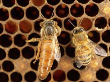 What Happens when a Queen Bee Dies