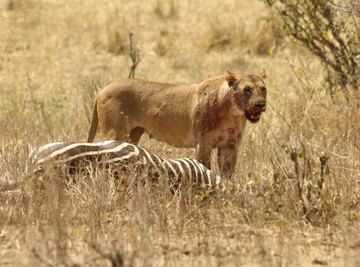 Despite its status as an apex predator, the African lion will readily scavenge.