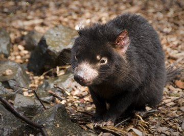 A Tasmanian devil standing on the ground.