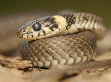 Snakes aren't slimy; they're dry and firm to the touch.