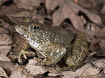 The foothill yellow-legged frog faces extinction soon.