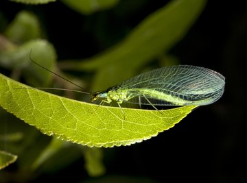 Green lacewings follow the scent of aphid excrement to potential egg-laying sites.