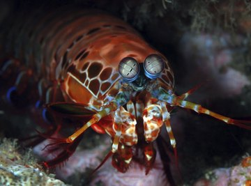 A mantis shrimp hiding in between rocks on the ocean floor.