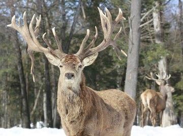 adult male deer