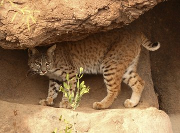 the bobcat is a well known desert cat