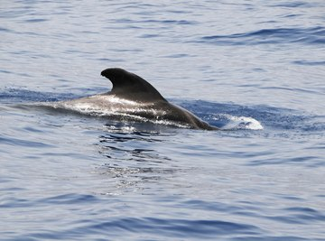 A dorsal fin skims the top of the water.