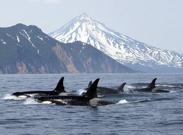 A pod of killer whales swim near a shore.