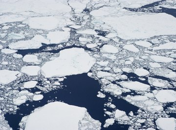 Narwhals follow leads in Arctic Ocean pack ice.