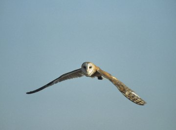 The common barn owl has a wingspan of up to 47 inches.