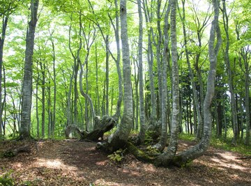 Beach trees growing in a forest.