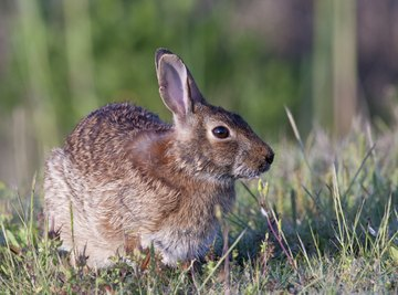 the eastern cottontail rabbit is among the many animals on the north central plains of Texas