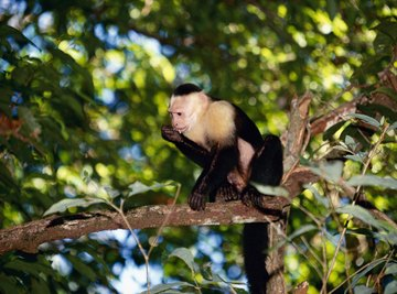 Most monkeys live in rain forests.
