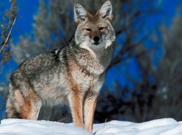 Gray wolves are much larger and heavier than coyotes.