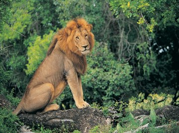 Where Do Lions Shelter in the Wild