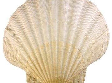 The scallop shell is identifiable by its fan-like shape.