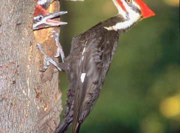 Large pileated woodpeckers appreciate a hearty suet snack.