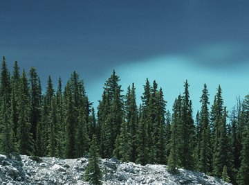 Boreal forests consist mainly of evergreen conifers.