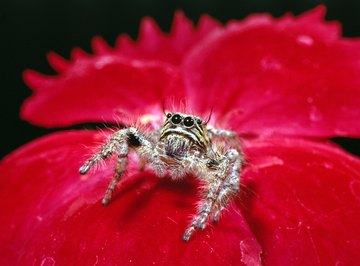 A jumping spider is always ready to spring forth.