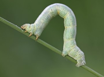 Inchworm Life Cycle