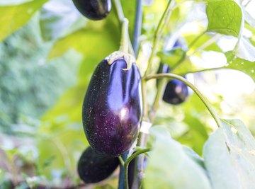 Eggplant growing on plant