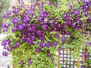 Clematis vines have twining leaves that permit them to climb.