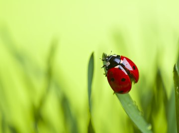Ladybug species vary in color, size and pattern of spots.