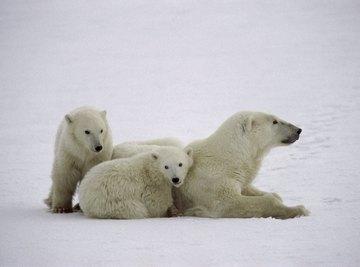 A polar bear and its cubs.