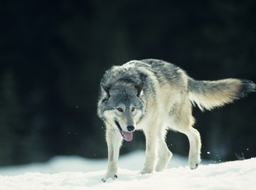 A wolf walking on snow in front of a forest.