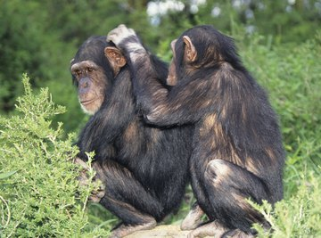 Unless stopped by a protective male, most female chimps select numerous partners.