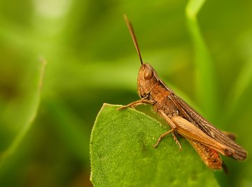 List of Jumping Insects